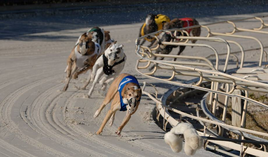 Greyhound Dog Racing at Daytona Beach Racing & Card Club
