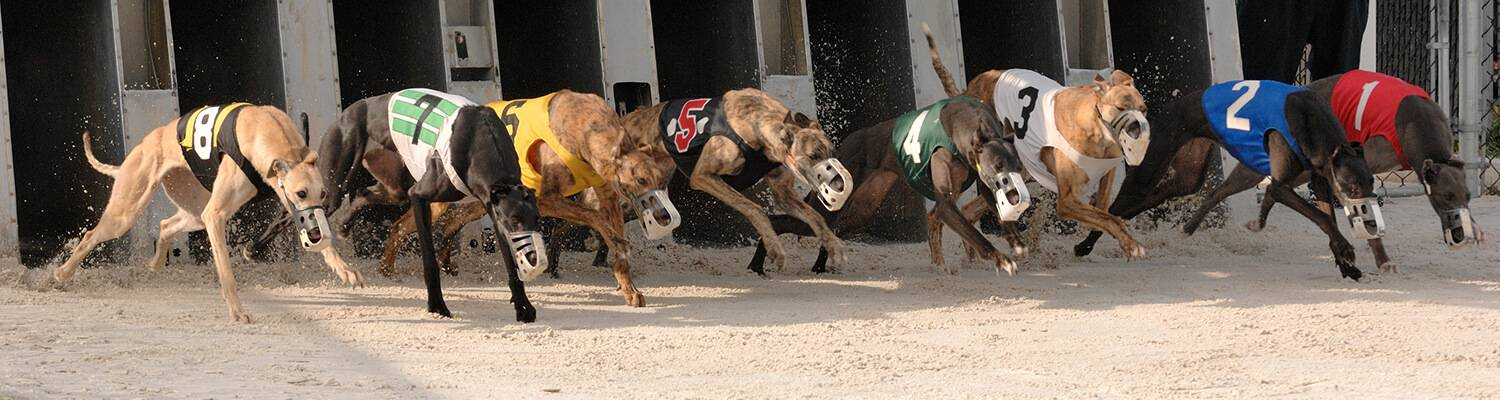 Daytona Dog Track >> Greyhound Simulcast Racing Wagering Daytona Beach Racing Card Club