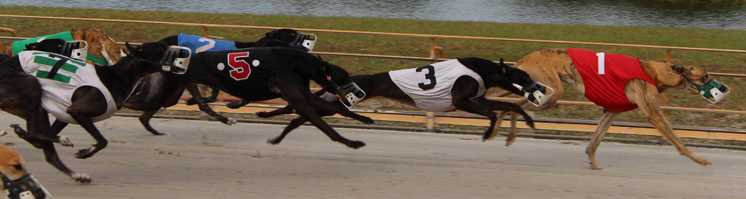 Watch Greyhound Racing Live Online Simulcast Racing Wagering